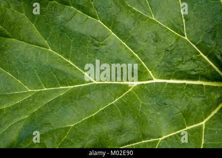 Rhabarber Blatt full frame Hintergrund - Stockfoto
