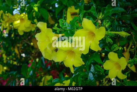 allamanda oder goldene trompete sch ne gelbe blume golden trumpet vine stockfoto bild. Black Bedroom Furniture Sets. Home Design Ideas