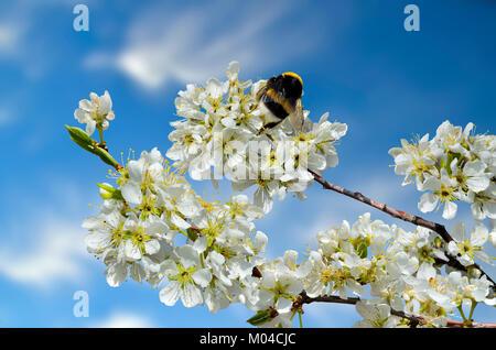 Frühjahr blühenden Kirschbaum Zweig mit Hummel auf weiße Blumen - schöne Frühling Hintergrund mit Platz für Text - Stockfoto
