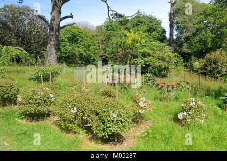 Caerhayes Schloss Gärten - Cornwall, England - DSC 03178 - Stockfoto
