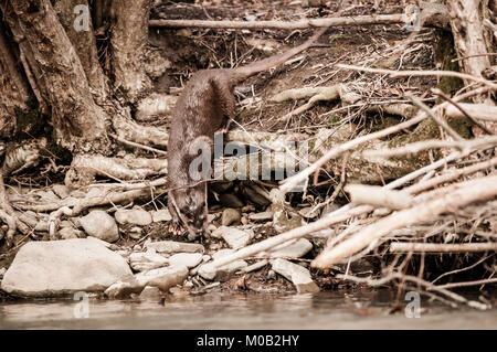 Fischotter an einem Flussufer - Stockfoto