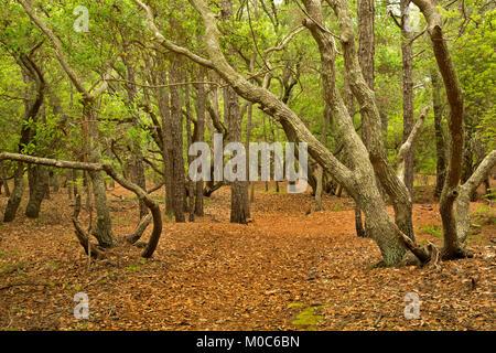 NC-01377-00... NORTH CAROLINA - Live Oak Bäume entlang der Strecke durch eine Eiche und Loblolly Pine Forest in - Stockfoto