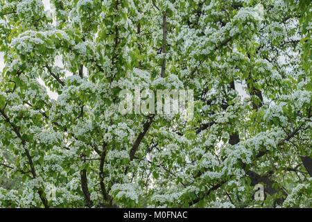 Blühenden Frühling Baum Hintergrund, Zweige mit weißen Blüten über ...