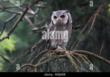 Afrikanische nördlichen Weißen konfrontiert Owl (Ptilopsis leucotis, Otus leucotis) mit Blick auf die Kamera - Stockfoto