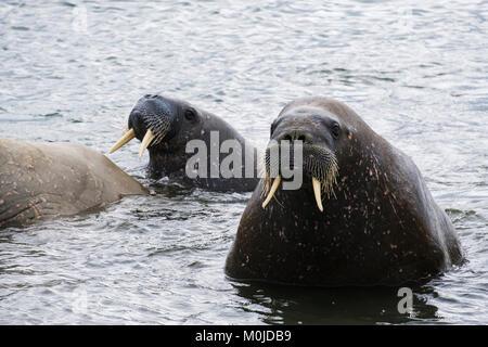 Erwachsene Walrosse (Odobenus rosmarus) Schwimmen offshore im Meer auf der arktischen Küste im Sommer 2017. Torelineset - Stockfoto