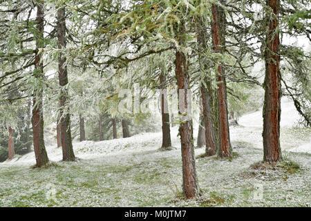 Wald mit Lärchen, ersten Schneefall im Herbst, Obernberg, Tirol, Österreich - Stockfoto