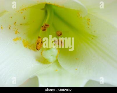 Nahaufnahme Detail eines weißen Lilly auf weißem Hintergrund - Stockfoto