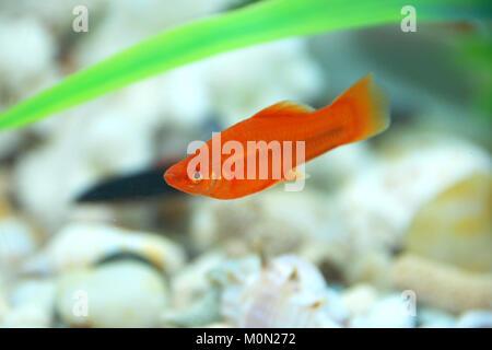 Rot paar Xiphophorus helleri Swordtail Männlich Weiblich Aquarienfische auf Weiß isoliert. rote Fische im Aquarium - Stockfoto