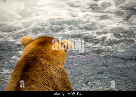 Die alaskische Bären zu Fuß den See auf einem entfernten See in Alaska, USA. Bekannt sind die Größten der Großen - Stockfoto