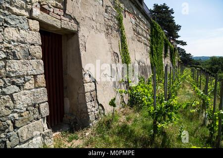 Weinberge auf einem Hügel in der Nähe von Old Brick Wall in einem Sommertag. - Stockfoto