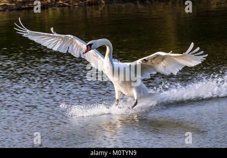 Höckerschwan Landung auf dem Octagon See, Stowe, Buckinghamshire, Großbritannien