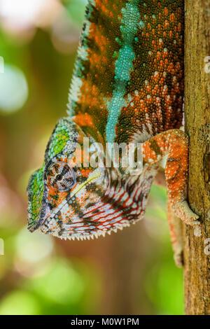 Panther Chamäleon Furcifer pardalis, Madagaskar. Schöne Echse aus Madagaskar Regenwald. Endemische bunten Eidechse. Regenwald. Safari Portrait