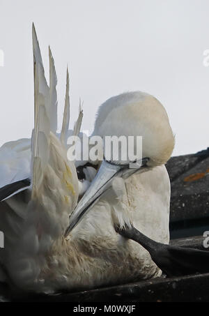 Northern Gannet (Morus bassanus) Erwachsenen ruht auf Hausdach, Putzende Eccles-on-Sea, Norfolk, UK November - Stockfoto