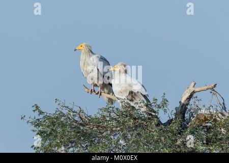 Indien, Rajasthan, Bikaner, Schmutzgeier (Neophron percnopterus), auch genannt die Weißen scavenger Geier oder des - Stockfoto