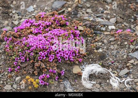 Lila oder Berg Steinbrech Steinbrech (Saxifraga oppositifolia) wilde Blumen blühen auf steinigem Boden in der arktischen - Stockfoto