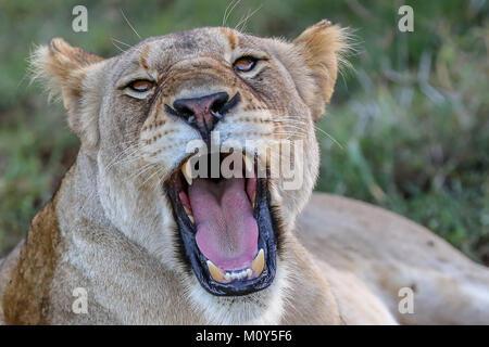 Nahaufnahme der Löwin direkt Brüllen an Kamera mit unscharfen Grünland Hintergrund. Stockfoto