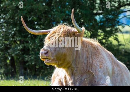 Schließen Detaillierte, (Kopf und Schultern) der herrlichen Highland Kuh (Stier) mit großen spitzen Hörner im sonnenbeschienenen - Stockfoto