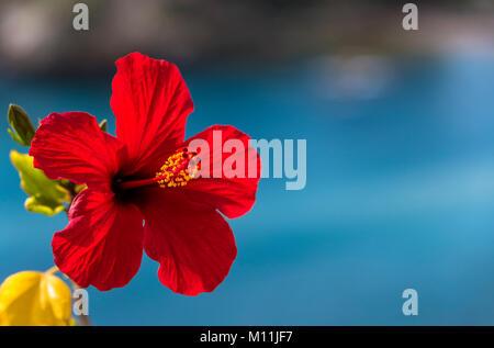 rote und gelbe bl te der chinesischen hibiskus hibiscus rosa sinensis china rose hawaiian. Black Bedroom Furniture Sets. Home Design Ideas