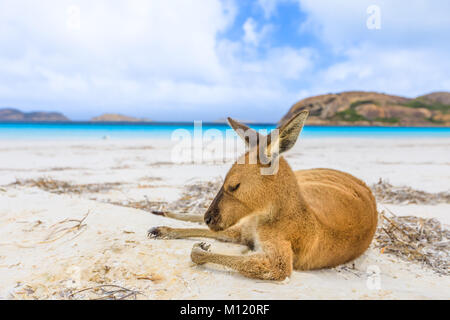 Känguru auf weißem Sand - Stockfoto