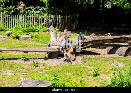 Ein Schwarm Krähen sitzen auf dem Holz und aalen sich in der Sonne - Stockfoto