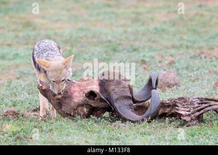 Black-backed Jackal (Canis mesomelas) am Kadaver eines Kaffernbüffel (Syncerus caffer Caffer), Addo Elephant National - Stockfoto