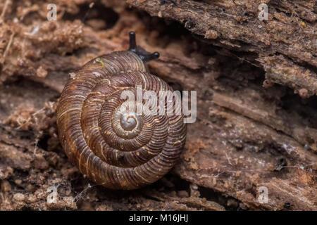 Abgerundet Schnecke (Discus rotundatus) auf der Unterseite der ein Stück morsches Holz auf dem Waldboden. Cahir, Tipperary, Irland.