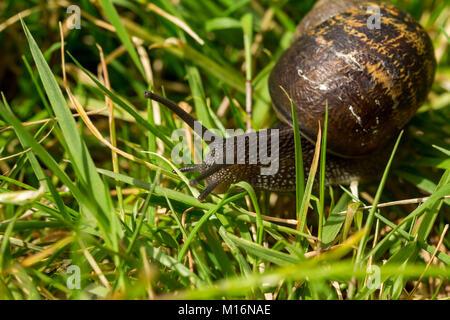 Einen gemeinsamen Garten Schnecke (Cornu aspersum) durch die grashalme Reisen - Stockfoto