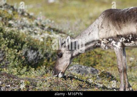 Junge unfruchtbaren Boden Karibus, Rangifer tarandus groenlandicus, Beweidung entlang der Tundra im August in der - Stockfoto