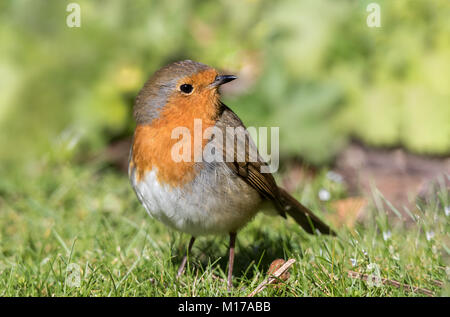 Robin stehen auf Gras. Profil geschossen, die im Rahmen mit verschwommenen Hintergrund schliessen. - Stockfoto