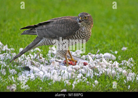 Eurasian sparrowhawk Accipiter nisus mit Collared dove Streptopelia decaocto Beute in Garten Ringwood Hampshire - Stockfoto