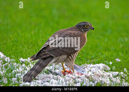 Eurasian sparrowhawk Accipiter nisus mit Collared dove Streptopelia decaocto Beute in Garten Ringwood Hampshire - Stockfoto
