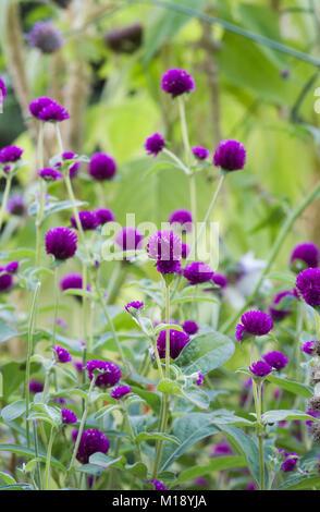 Gomphrena nana Blumen. Globus Amaranth. - Stockfoto