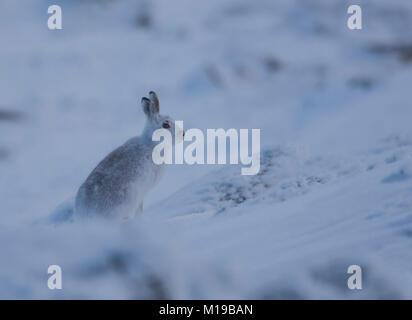 Schneehase Lepus timidus im Winter weißen Mantel im Schnee auf einer schottischen Berge. - Stockfoto