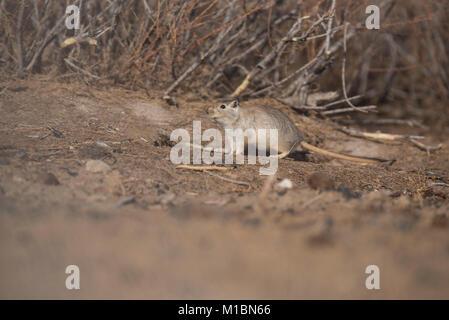 Przewalski gerbil - Stockfoto