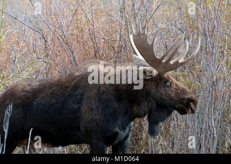 Trophy stier Elch (Alces alces) im Grand Teton National Park, Wyoming - Stockfoto
