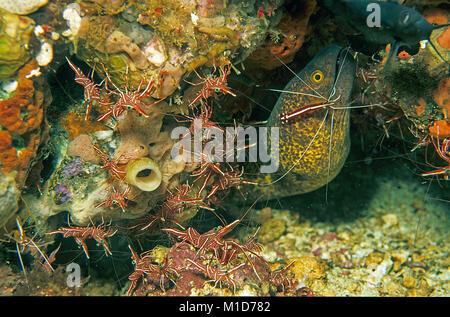 Yellowmargin Moray (Gymnothorax flavimarginatus), Weiß-Gebändert Putzergarnelen (Lysmata amboinensis), Tanz Garnelen - Stockfoto