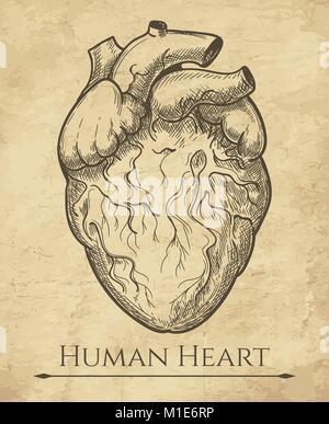 Menschliche Herz Skizze. Anatomische Herz organ Radierung Zeichnung, medizinische Retro anatomische Herzmuskel Gravur - Stockfoto