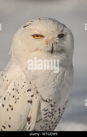 Schnee-eule (Bubo scandiacus) portrait - Stockfoto