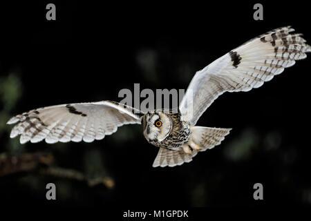 Long-Eared Eule (Asio otus). Erwachsener im Flug bei Nacht. Deutschland - Stockfoto