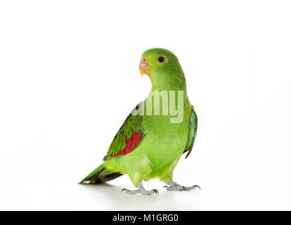 Red-winged Parrot (Aprosmictus erythropterus) stehen. Studio Bild vor einem weißen Hintergrund zu sehen - Stockfoto