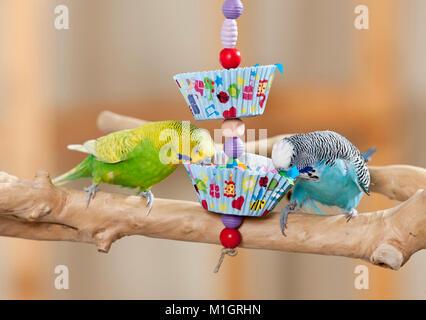 Wellensittich, Wellensittich (Melopsittacus undulatus). Männliche essen von selbstgebauten Spielzeug. Deutschland - Stockfoto