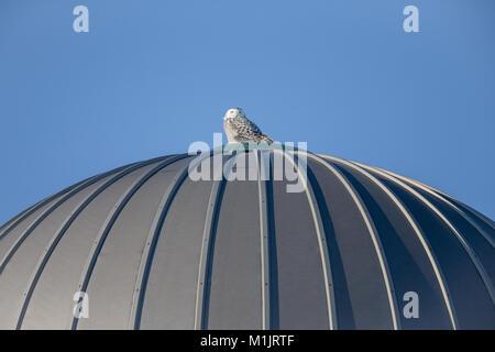 Schnee-eule (Bubo scandiacus) auf einem Bauernhof silo gehockt und Blick in die Kamera. Kopieren Sie Platz im Himmel, - Stockfoto