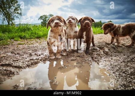 Mischlingen. Fünf Welpen auf einer Pfütze. Deutschland - Stockfoto
