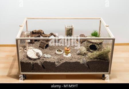 Mongolische Wüstenrennmaus (Meriones unguiculatus). Gehäuse für Rennmäuse in einem Raum. Deutschland