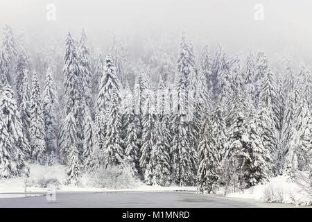 Eine verschneite Tannen wald im Schnee im Nebel im Winter um einen gefrorenen See - Vogesen, Frankreich abgedeckt - Stockfoto