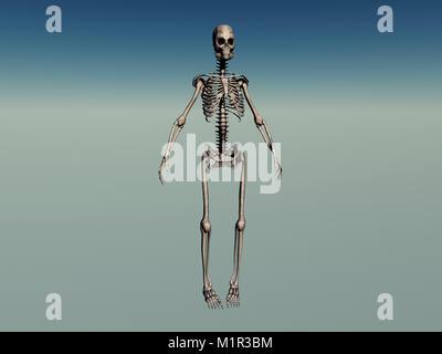Menschliche Wirbelsäule, Schädel, Thorax und Beckenknochen ...