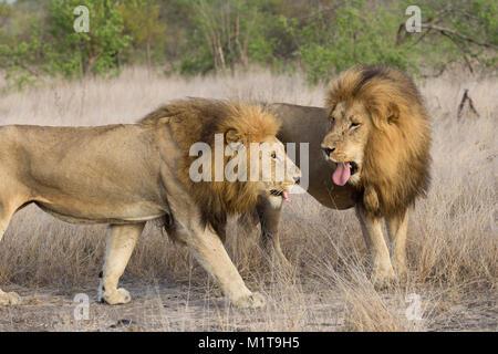 Ein männlicher Löwe (Panthera leo) scheinbar seine Zunge heraus an einen anderen männlichen Löwen. - Stockfoto