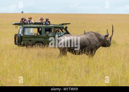 Ostafrikanischen Unterart von spitzmaulnashorn (Diceros bicornis Michaeli) Vorsichtig nähert sich einer Safari Pirschfahrt - Stockfoto