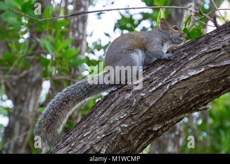 USA, Florida, Eichhörnchen sitzt auf Baumstamm im Park auf Key Biscayne - Stockfoto