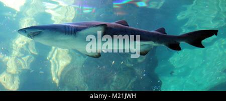 Hai unter Wasser bei Kapstadt Südafrika - Stockfoto